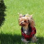 йоркширский терьер съемок, маленькая собачка для съемок
