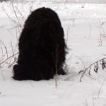 черный терьер для съемок, большая собака для съемок, черная собака для съемок,