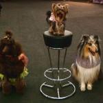 собаки для съемок, пудель для съемок, йорк для съемок, колли для съемок
